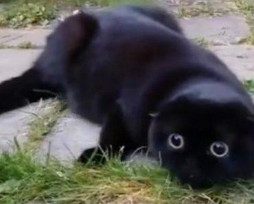 Dono De Scottish Fold Filma a Cómica Reação Da Sua Gatinha 3