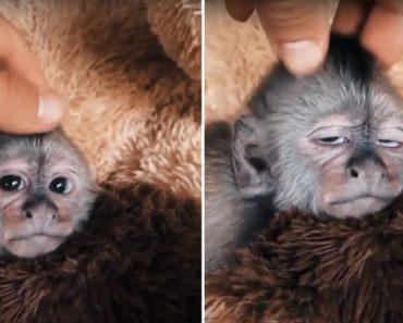 Como Relaxar Um Macaco Capuchinho Em Segundos 6