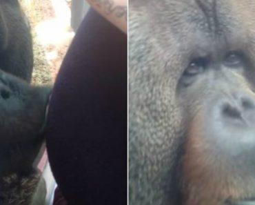 Orangotango Beija Barriga De Mulher Grávida 5