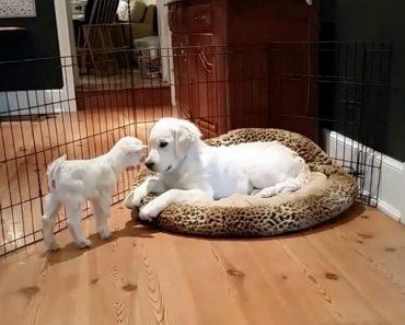 A Reação De Um Golden Retriever Ao Receber Em Casa Uma Cabra Bebé 3