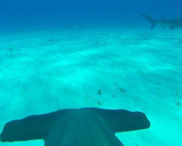 Mergulhador Prende Câmara Em Tubarão e Capta Imagens Incríveis 3