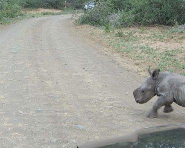 Visitante De Safari Filma Divertido Momento Em Que Corajoso Bebé Rinoceronte Persegue Carro 1