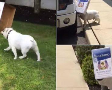 Bulldog Inglês é Tão Obcecado Por Caixas Que Até Se Esquece Por Onde Anda 8