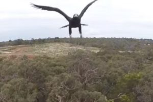 Águia De Dois Metros Ataca Drone 9