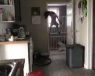 2 Grades De Segurança Não São Suficientes Para Impedir Este Persistente Cão De Entrar Na Cozinha 6