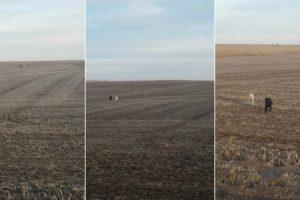Labrador Perdido Voltou a Casa Com Dois Novos Amigos 9