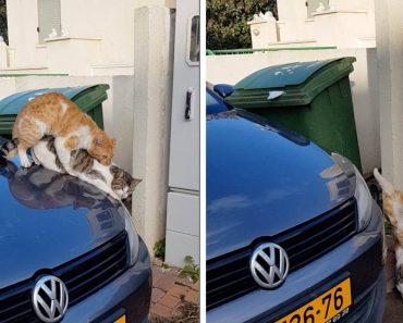 Gatos Escorregam Do Capô De Carro Enquanto Acasalam 9