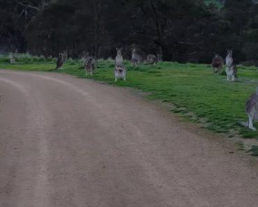 Homem Fica Cercado Por Cangurus Durante Passeio De Bicicleta Na Austrália 4