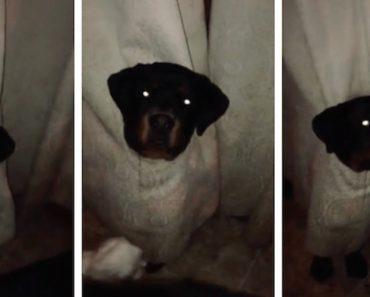 """Rottweiler Perde """"Batalha"""" Contra As Cortinas 9"""