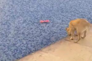Cadela Salta Para Piscina Para Recuperar Brinquedo Mas Tem Surpresa Desagradável 10