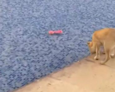 Cadela Salta Para Piscina Para Recuperar Brinquedo Mas Tem Surpresa Desagradável 1