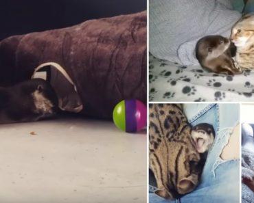 A Amizade Incomum Entre Um Gato Bengala e Uma Lontra Bebé 3