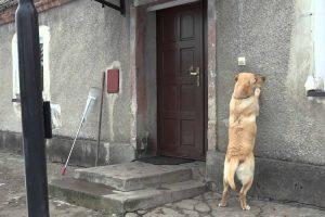 Cão Educado Toca à Campainha Sempre Que Quer Entrar Em Casa 9