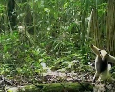 Filmagem Captada Na Selva Revela a Técnica De Defesa De Papa-Formigas Contra Um Falcão 8