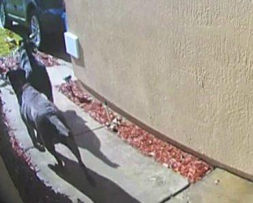 Cães Procuram Ajuda Na Vizinhança Após Dona Sofrer AVC Em Casa 7