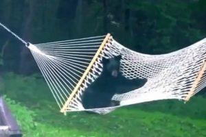 Urso Bebé Invade Jardim e Decide Brincar Com Cama De Rede 10