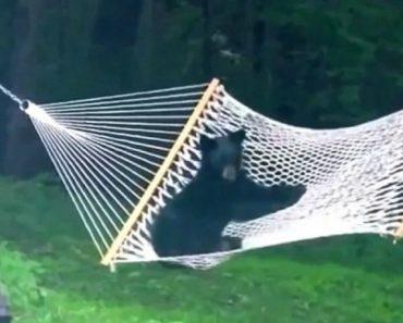 Urso Bebé Invade Jardim e Decide Brincar Com Cama De Rede 5