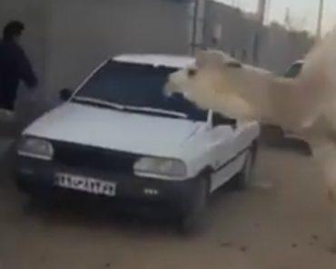 Homem Corre à Volta Do Carro Para Escapar Da Perseguição De Camelo 7