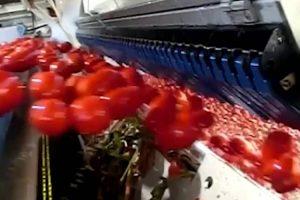 """""""Inteligente"""" Máquina Separa Os Tomates Verdes Dos Maduros Com Incrível Rapidez 7"""