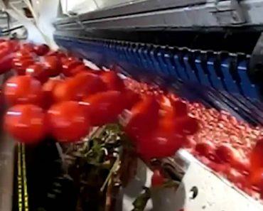 """""""Inteligente"""" Máquina Separa Os Tomates Verdes Dos Maduros Com Incrível Rapidez 2"""