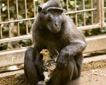 Macaca e Galinha São Os Melhores Amigos 6