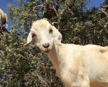 Sabe Quantas Cabras Cabem No Cimo De Uma Árvore? 9