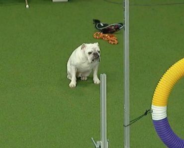 Bulldog Participa Em Prova De Obstáculos e Conquista… o Respeito De Todos 9