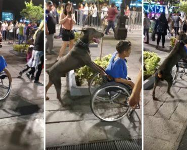 Cão Ajuda Dono Na Rua Ao Empurrá-lo Na Cadeira De Rodas 6