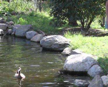 Patos Sentem a Água Pela 1ª Vez Depois De Passarem a Vida Inteira Presos Em Gaiolas 2