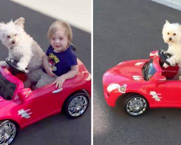 Cão Conduz Carro e Leva Dono a Passear 7