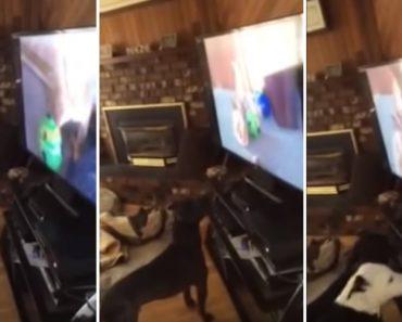 Veja o Que Faz Este Pit Bull Ao Perceber Que o Seu Amigo Está a Ver Televisão 2