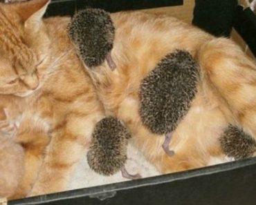 Ouriços Bebés Sobrevivem Depois De Serem Adotados Por Mãe Gata 4