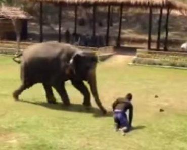 Elefante Protetor Tem Incrível Reação Ao Ver o Seu Tratador Em Perigo 7