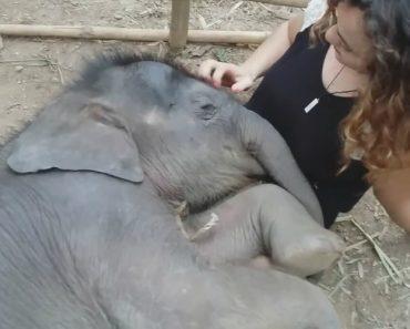 Adorável Momento: Mulher Tenta Adormecer Bebé Elefante Com Canção De Embalar 2