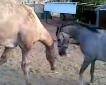 Cavalo e Camelo Têm Encontro Emocionante Depois De Terem Sido Separados 2