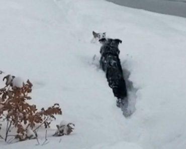Cão Com Dificuldade Em Andar Sobre Enorme Camada De Neve Recebe Preciosa Ajuda Do Seu Companheiro 8
