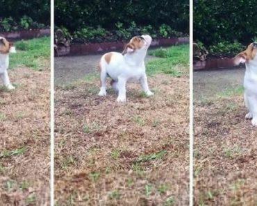 Veja a Reação Hilariante Que Este Bulldog Teve Ao Sentir a Chuva Pela 1ª Vez 7