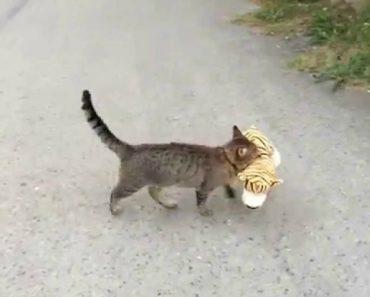 Gato Rapta Tigre Da Casa Dos Vizinhos Para Ele Mesmo Brincar 3