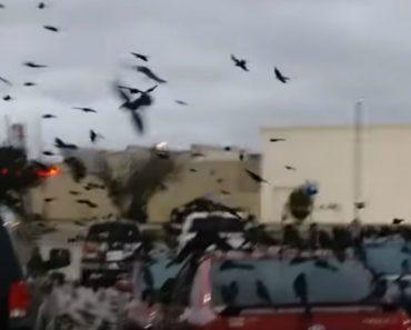 Parque De Estacionamento é Invadido Por Centenas De Corvos 2