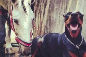 """Veja Porque é Que Este Doberman é Conhecido Como o """"Encantador De Cavalos"""" 10"""