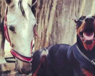 """Veja Porque é Que Este Doberman é Conhecido Como o """"Encantador De Cavalos"""" 5"""