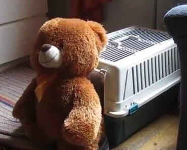 Este Cão é Tão Determinado Que Até Consegue Colocar Urso Dentro De Uma Caixa Transportadora 6