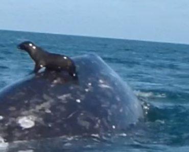 Foca Viciada Em Adrenalina Vai à Boleia Nas Costas De Uma Baleia 4