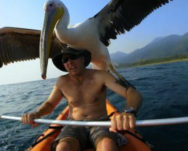 Pelicano Resgatado Aprende a Pescar Com o Seu Novo Amigo 4