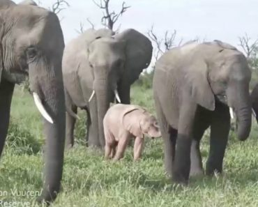 Elefante Cor-De-Rosa Encontrado Na África Do Sul 7
