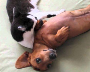 Gata Consegue Acalmar Cão Agitado De Forma Incrível 7