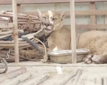 Leão Da Montanha Libertado Após 20 Anos Acorrentado Numa Carrinha De Circo 8