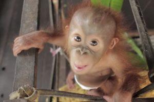 Quer Saber o Que é Pura Alegria? Então Veja Este Orangotango Bebé 10