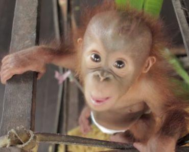 Quer Saber o Que é Pura Alegria? Então Veja Este Orangotango Bebé 5