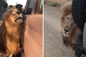 Leão Confunde Carro Com Membros Do Clã e Mostra Uma Estranha Atração Pelos Veículos 10